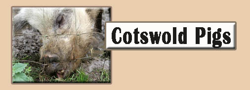 Cotswold Pigs