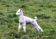 Bibury Lamb